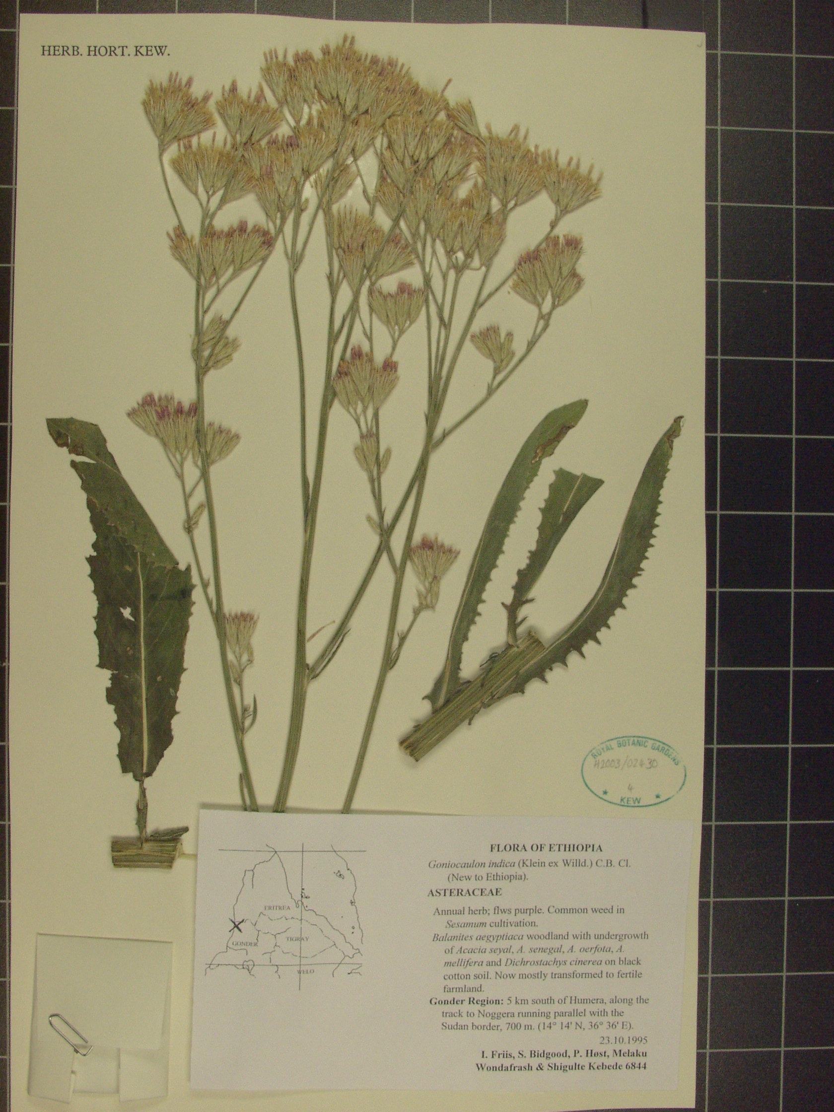 Plant: Goniocaulon